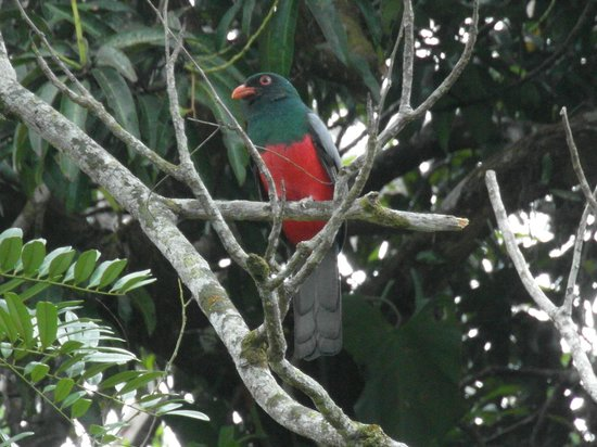 Tortuga Lodge & Gardens: Wildlife - Slaty-tailed Trogan