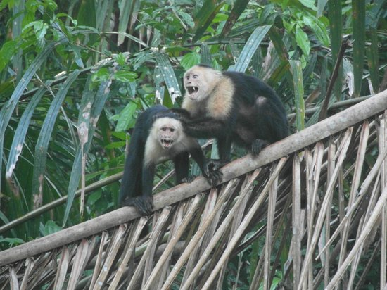 Tortuga Lodge & Gardens: Wildlife - White-faced Capuchin Monkeys