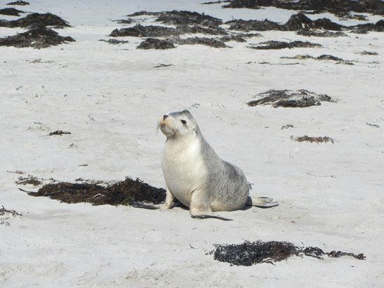 Seal Bay Conservation Park: Sealion pup on the beach