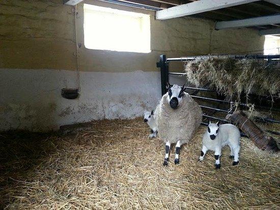 St Leonards Farm Park: lambs