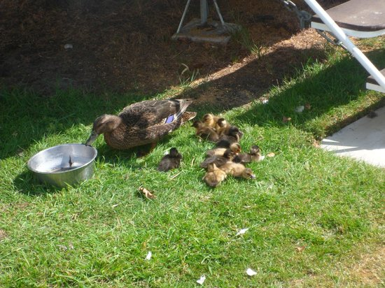 Wild Duck Holiday Park - Haven: family of ducks visited us daily