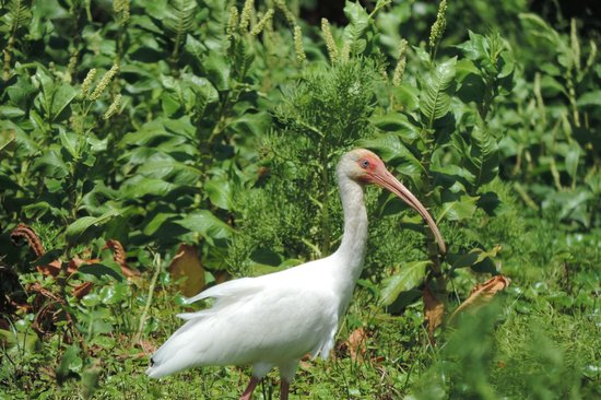 Rio Istian: Ibis