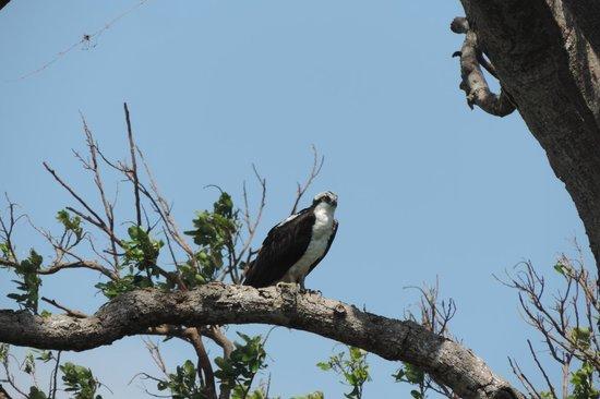Rio Istian: hawks