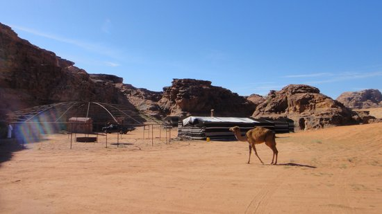 Wadi Rum Green Desert : wild camel in the camp