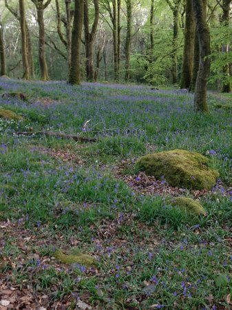 Gwynfryn Farm Cottages and B&B: Nearby bluebell wood