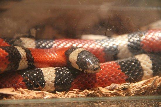 Polo museale Unicam: Il falso serpente corallo