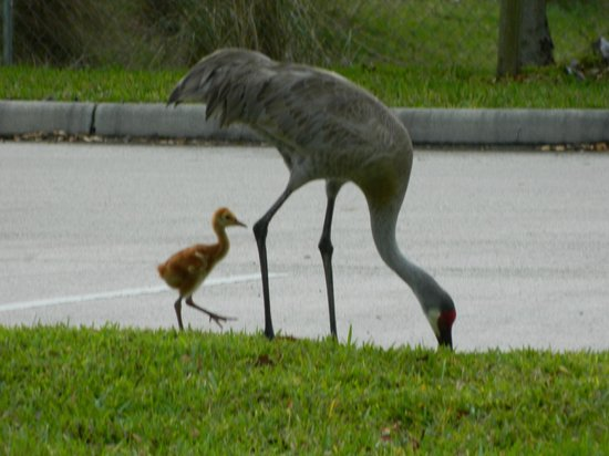 Hampton Inn Melbourne-Viera: Sand Hill Crane in parking lot