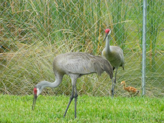 Hampton Inn Melbourne-Viera: Family of Sand Hill Cranes outside