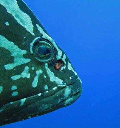 Little Cayman Beach Resort: Nassau Grouper, up close and personal