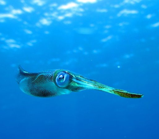 Little Cayman Beach Resort: Inquisitive squid during deco stop