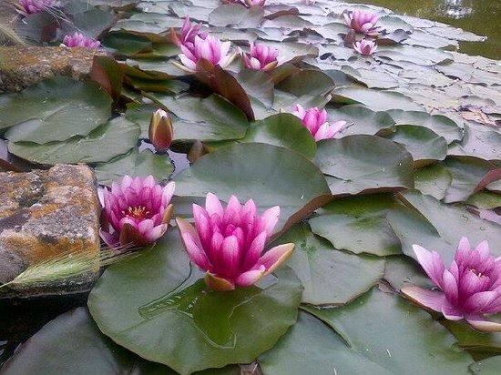 Tenuta Badessa : Ninfee in fiore nel laghetto