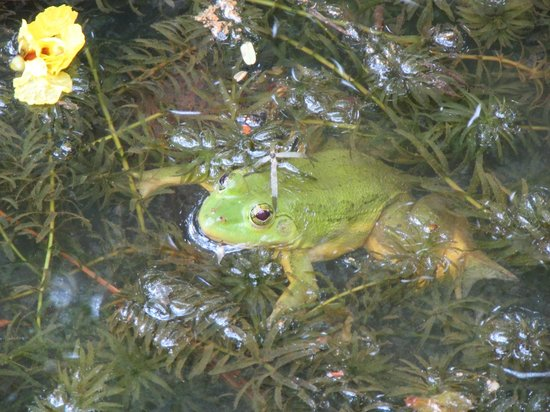 Bentota, Sri Lanka: Pond dweller