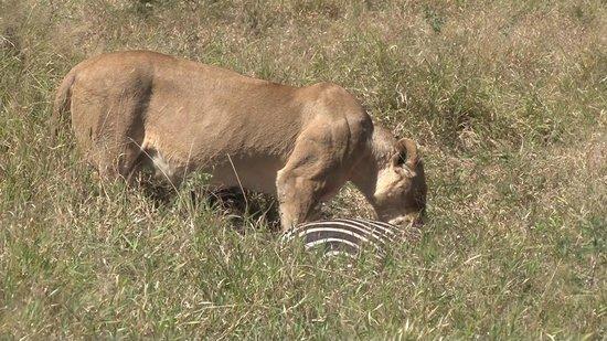 Tintswalo Safari Lodge : Löwe mit Zebra