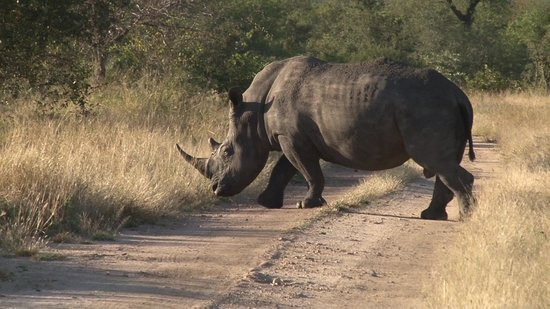 Tintswalo Safari Lodge : Rhino Projekt