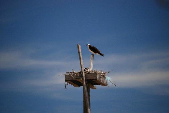 Dauphin Island Audubon Bird Sanctuary: Osprey