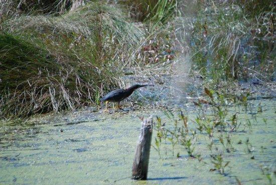 Dauphin Island Audubon Bird Sanctuary: Green Heron