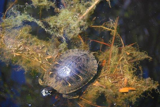 Dauphin Island Audubon Bird Sanctuary: Turtle
