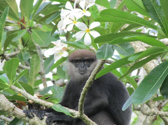 Heritance Ahungalla: Shy langur monkeys come to feed in the mornings