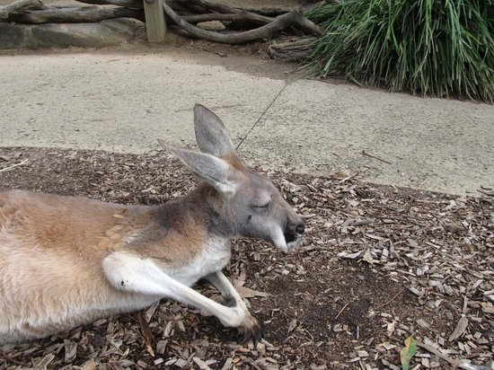 Australian Reptile Park: One of the many Roo's to pet