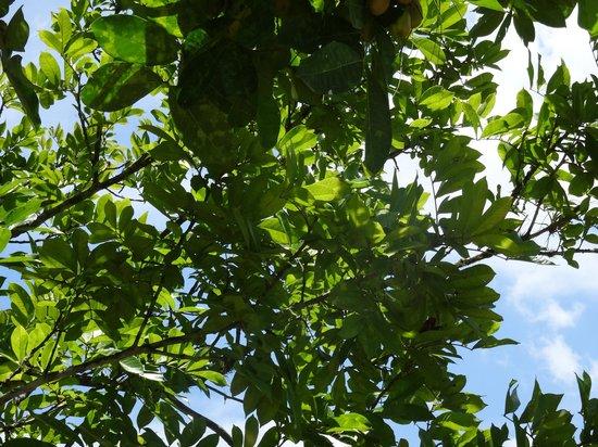 Good Hope Plantation: Ackee tree