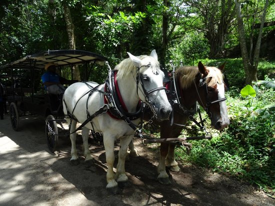 Good Hope Plantation : Horse drawn carriage