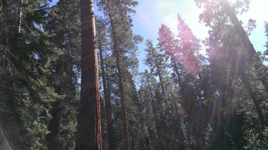 Mariposa Grove of Giant Sequoias: Trees