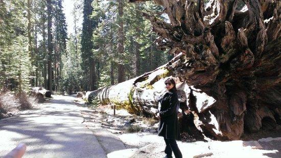Mariposa Grove of Giant Sequoias: Fallen Monarch