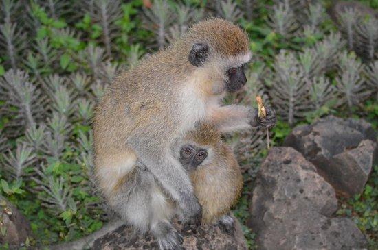 Amboseli Serena Safari Lodge: Little monkey