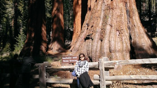 Mariposa Grove of Giant Sequoias: Bachelor and Three Graces