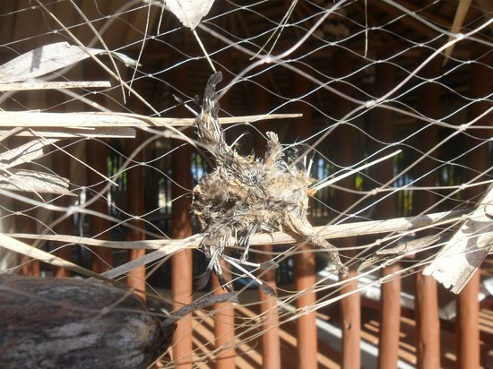 Grand Bahia Principe El Portillo: Trapped bird fried in the sun