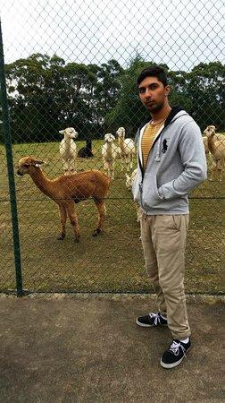 Madison's Mountain Retreat: Alpacas