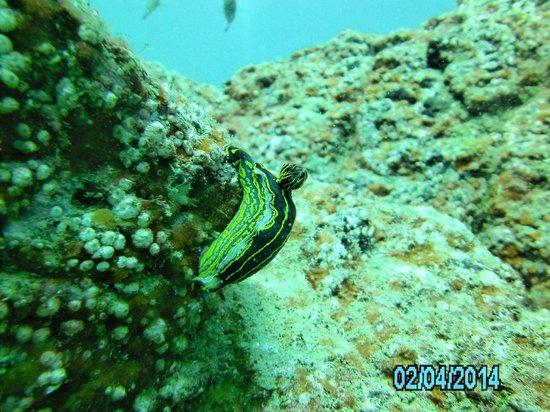 Deep Blue Diving Base: nudibranch