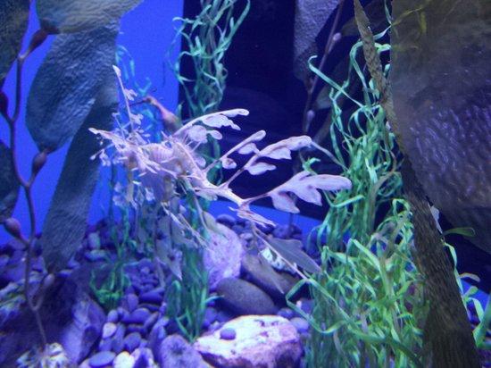 Ripley's Aquarium of the Smokies : Weeded Sea Dragon
