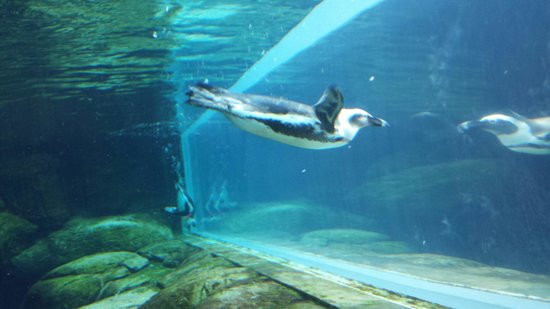 Ripley's Aquarium of the Smokies: Penguin