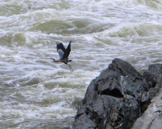 Great Falls Park: Heron flying over falls of Potomac