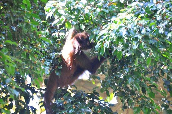 Bosque del Cabo Rainforest Lodge : Spider Monkey