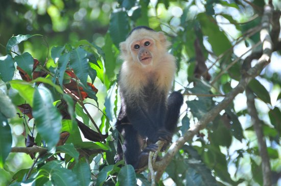 Bosque del Cabo Rainforest Lodge: Monkey
