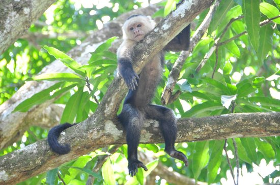 Bosque del Cabo Rainforest Lodge: White-throated Capuchin Monkey
