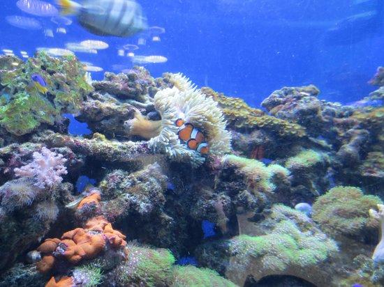 Aquarium du Quebec : Clown Fish