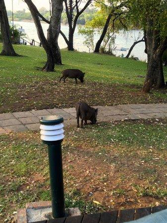 A'Zambezi River Lodge: Warthogs on the grounds