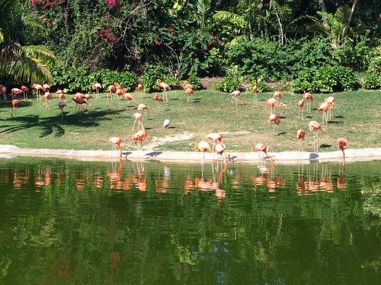 Jungle Island: Стая розовых фламинго