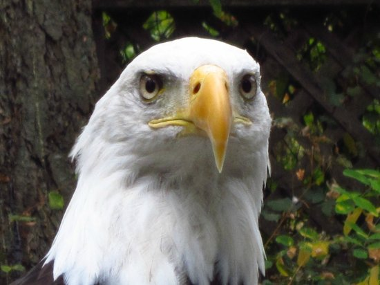 The Raptors: Bald Eagle at Pacific Northwest Raptor Centre