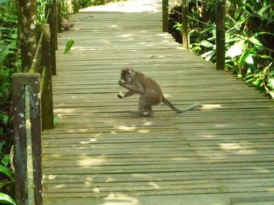Abai Jungle Lodge: monkey at Abai resort