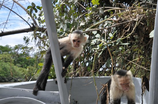Bill Beard's Costa Rica: White-face monkeys on or boat