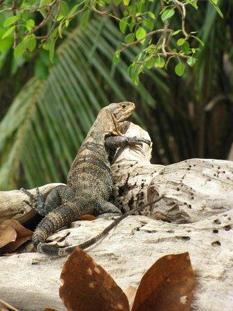 Playa Manuel Antonio: Iguane