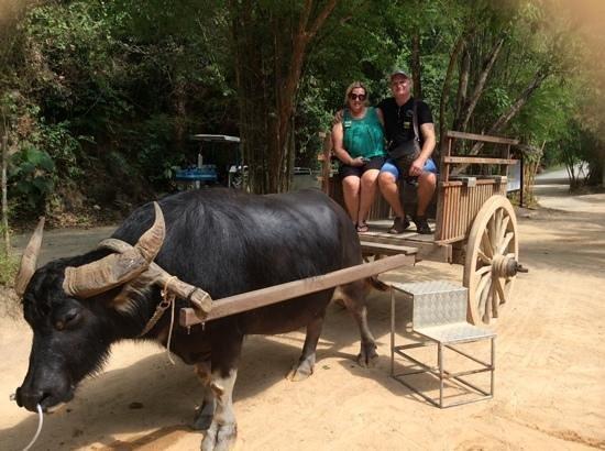 Siam Safari: bullock ride