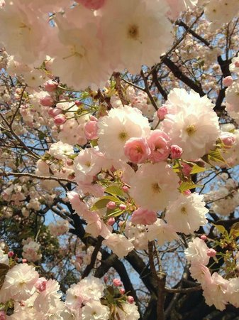 Shinjuku Gyoen National Garden: Different varieties of cherry blossoms and other flowers