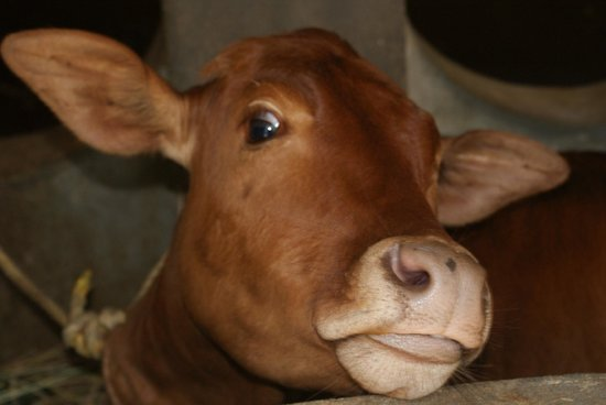 Greenwoods Resort: the pet calf on site