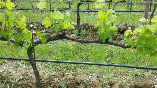 Azienda Agraria Saio: les beaux bourgeons sont en train d'éclore!