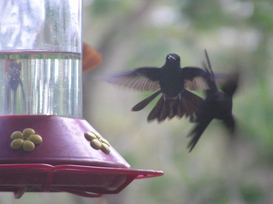 Coco Reef Tobago: Humming Birds at Arnos Vale